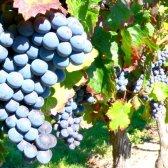 Як варити компот з винограду