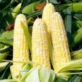 Як виростити кукурудзу на дачі