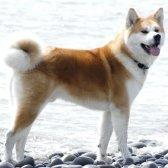 Порода собак акіта-іну