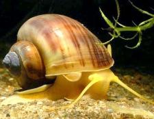 Як доглядати за акваріумний равликом