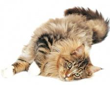 Як мити кішкам вуха