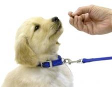 Як надіти нашийник на собаку