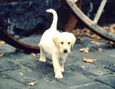 Як навчити собаку гуляти