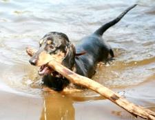 Як навчити собаку плавати