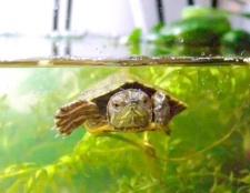 Як облаштувати тераріум для черепахи