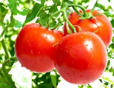 Як запилювати помідори