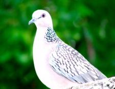 Як відлякати голубів з балкона