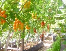 Як підв'язати помідори в теплиці з полікарбонату