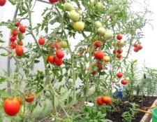 Як поливати помідори в теплиці