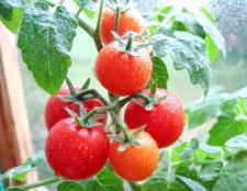 Як посадити помідори в теплицю