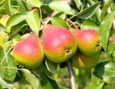 Як варити компот з груш