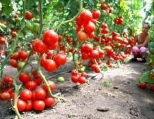 Як виростити хороший урожай помідорів в теплиці