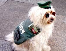 Якими якостями повинна володіти службовий собака