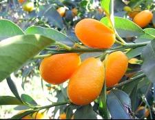 Кумкват: це що за фрукт