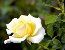 Чи можна дарувати білі троянди