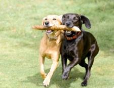 Як навчити собаку приносити палицю