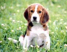 Як навчити собаку проситися гуляти