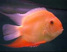 Як визначити стать рибки-папуги