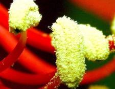 Як вживати квітковий пилок