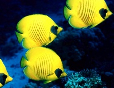 Як дізнатися стать акваріумних рибок