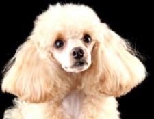 Яка порода собаки підходить для алергіків