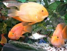 Як дізнатися стать рибки