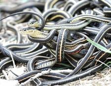 Як спаровуються змії