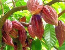 Чим корисне масло какао