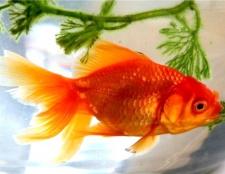Де мешкають золоті рибки в природі