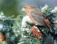 Яка птах на морозі гніздиться