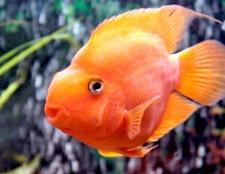 Розмноження акваріумних рибок папуг